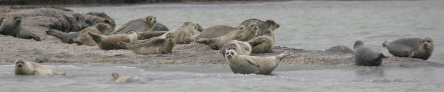 Caspian seal haul out group